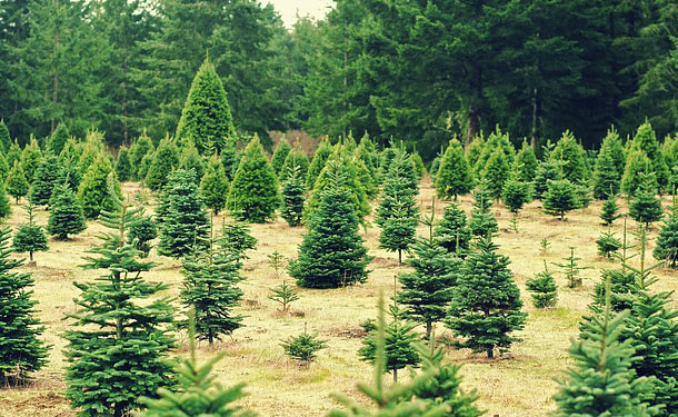 christmas tree farm in roswell ga