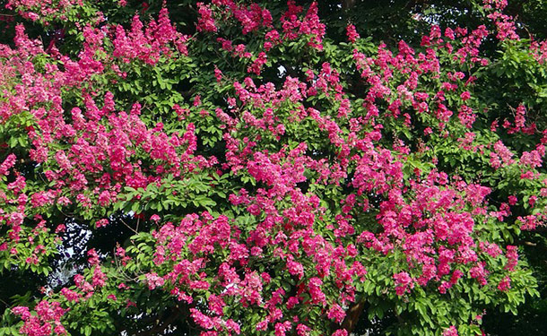 flowering crape myrtle tree blooms