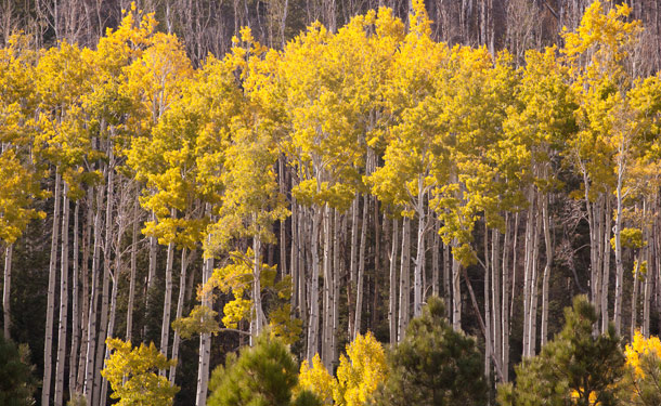 stand of deciduous aspen trees with evergreens