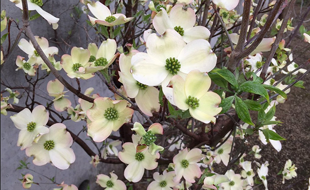 dogwood tree flowers in atlanta ga
