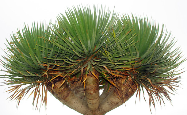 Dracena tree indoor evergreen care