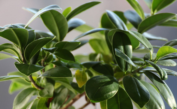 Ficus tree indoor evergreen care