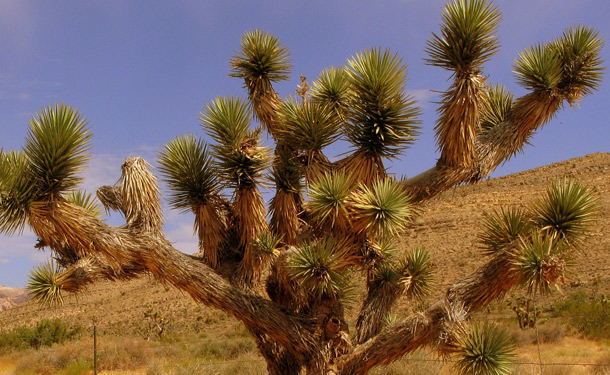 Joshua tree indoor evergreen care