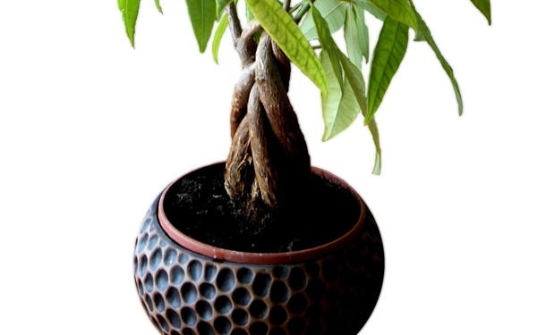 Potted indoor evergreen tree care
