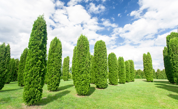 evergreen juniper trees for hedges growing in rows