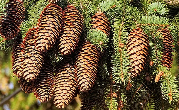 Pine trees produce stress crops when the tree is threatened by disease or insect infestation