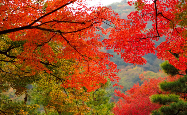 deciduous red maple trees surrounded by evergreens