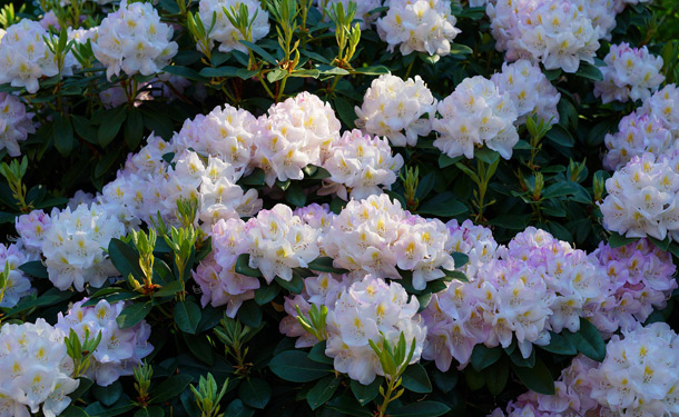 Zone 8 evergreen shrub rhododendron for shade