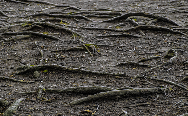 Surface roots are a product of the tree species erosion and poor watering practices