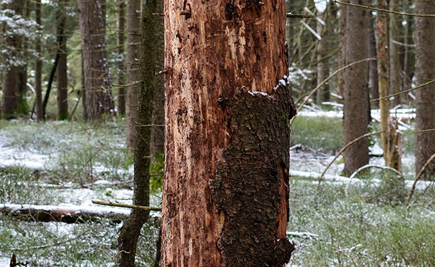 Girdled tree with severe bark damage