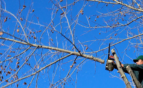 Pruning trees helps correct irregular growth and removes diseased limbs
