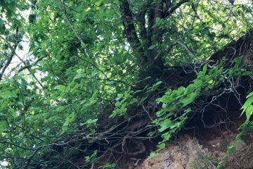Tree roots growing exposed on eroded hill
