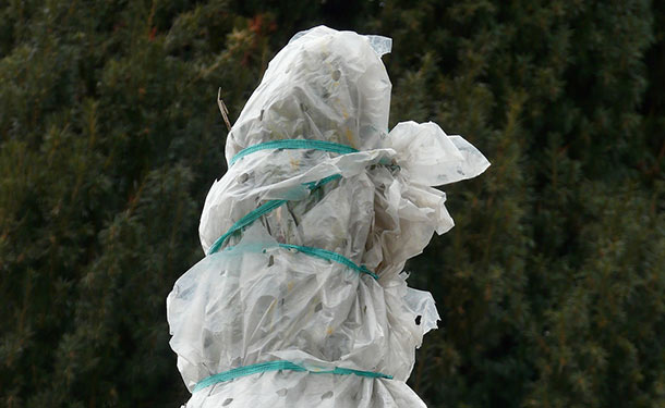 Winter evergreen tree wrapped for protection