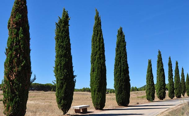 Evergreens for usda hardiness zone 9 cypress trees