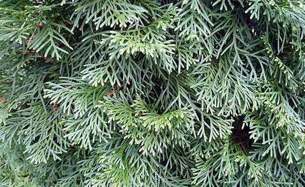 Evergreens for usda hardiness zone 9 juniper trees