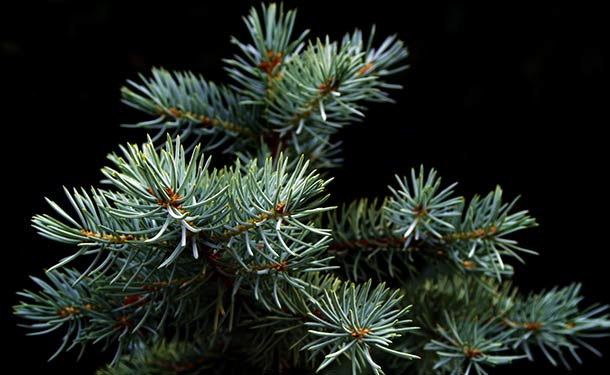 Evergreens for usda hardiness zone 9 spruce trees