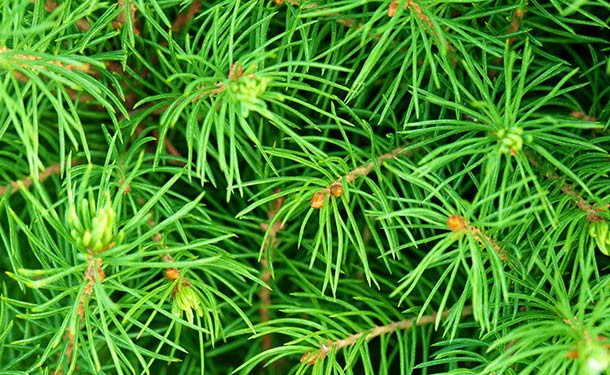 Evergreen tree species for usda hardiness zone 9