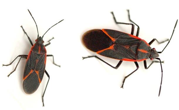 Boisea trivittata boxelder bug tree pest