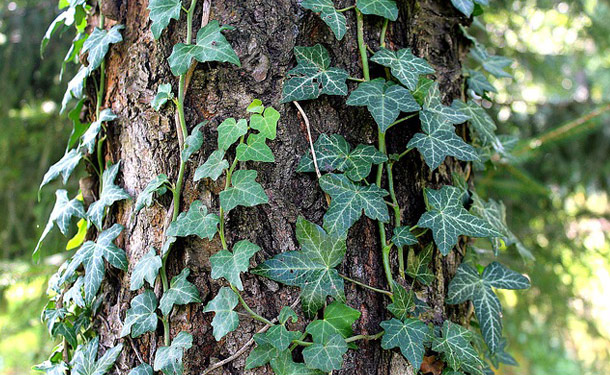 Tree trunk with climbing ivy vines