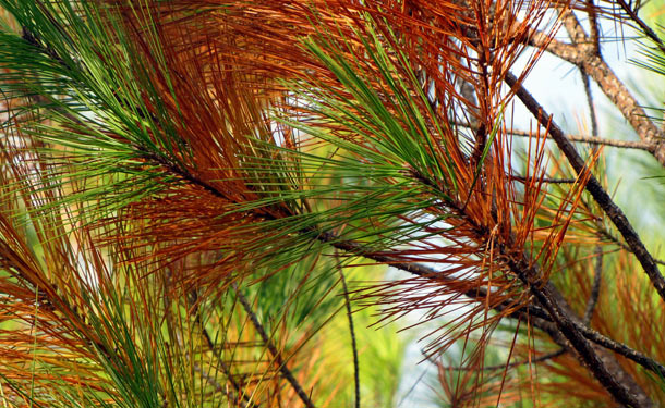 Evergreen pine tree with browning needles