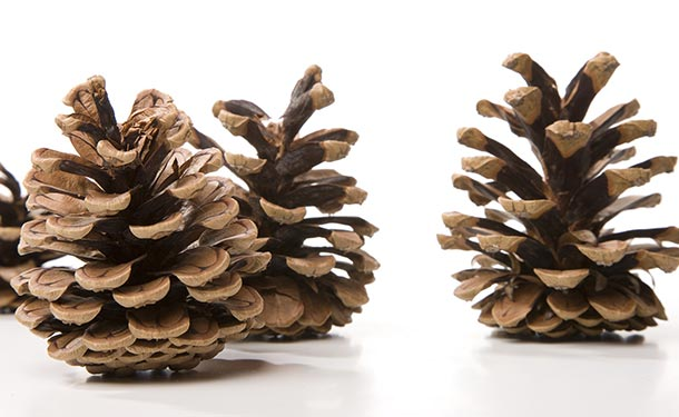 Pine trees reproduce when female cones open and release seeds