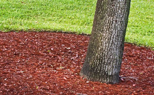 Properly mulched healthy tree in yard