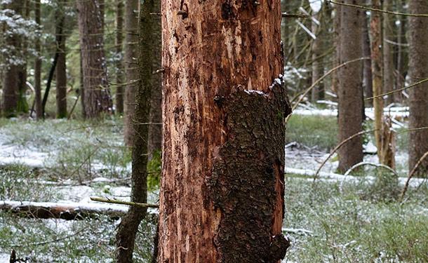 Girdled tree with severe bark damage