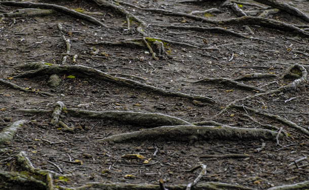 Winter tree root problems when the ground freezes and thaws causing heaving